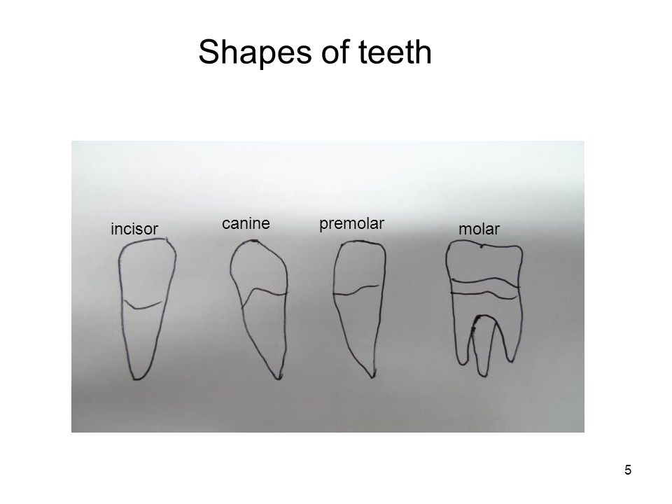 Shapes of teeth canine premolar incisor molar