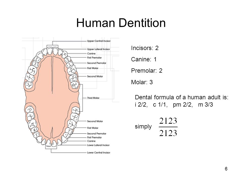 Human Dentition Incisors: 2 Canine: 1 Premolar: 2 Molar: 3