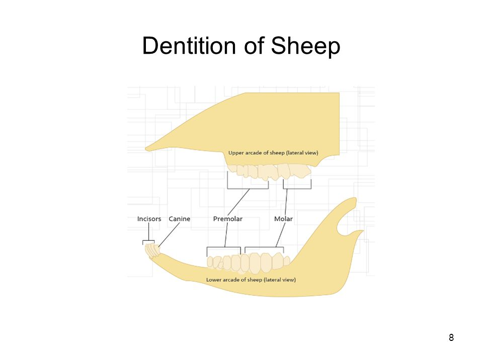 Dentition of Sheep
