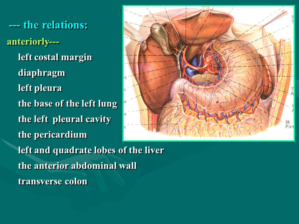 --- the relations: diaphragm left pleura the base of the left lung