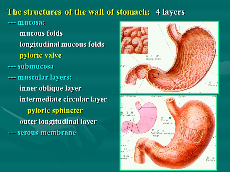 The structures of the wall of stomach: 4 layers