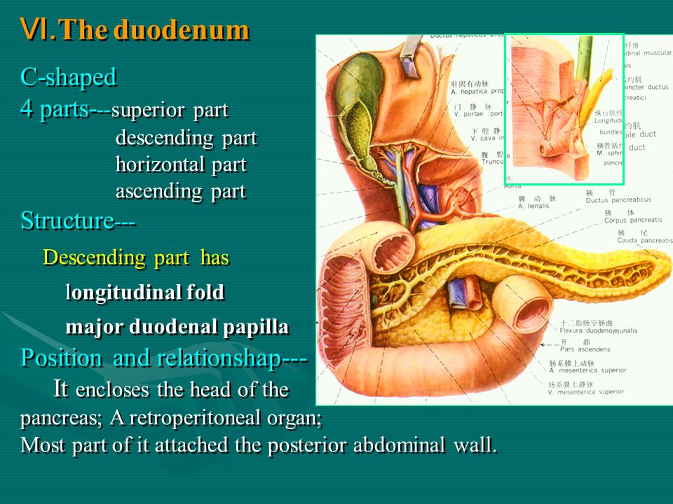 Ⅵ.The duodenum C-shaped 4 parts---superior part Structure---