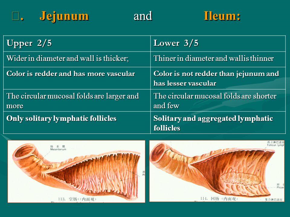 Ⅶ. Jejunum and Ileum: Upper 2/5 Lower 3/5