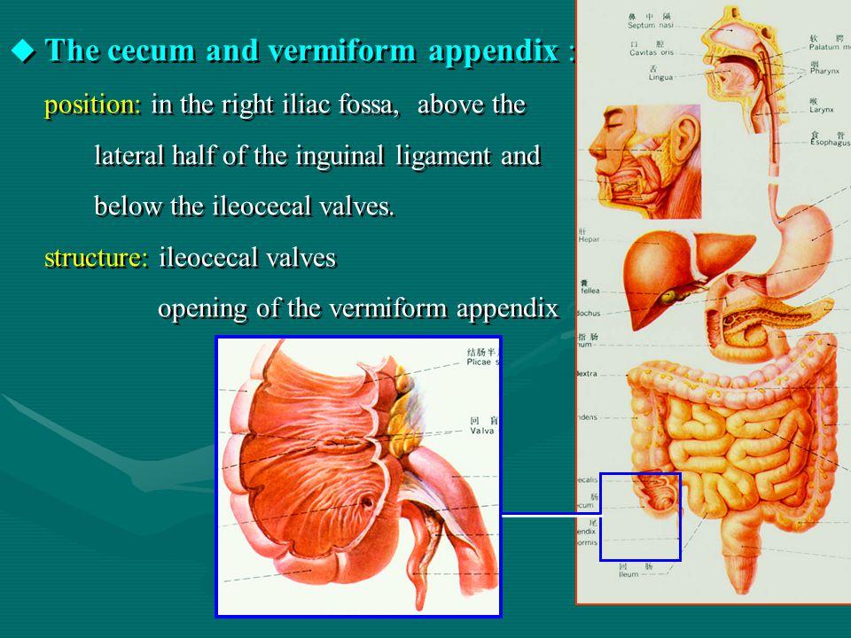 The cecum and vermiform appendix :