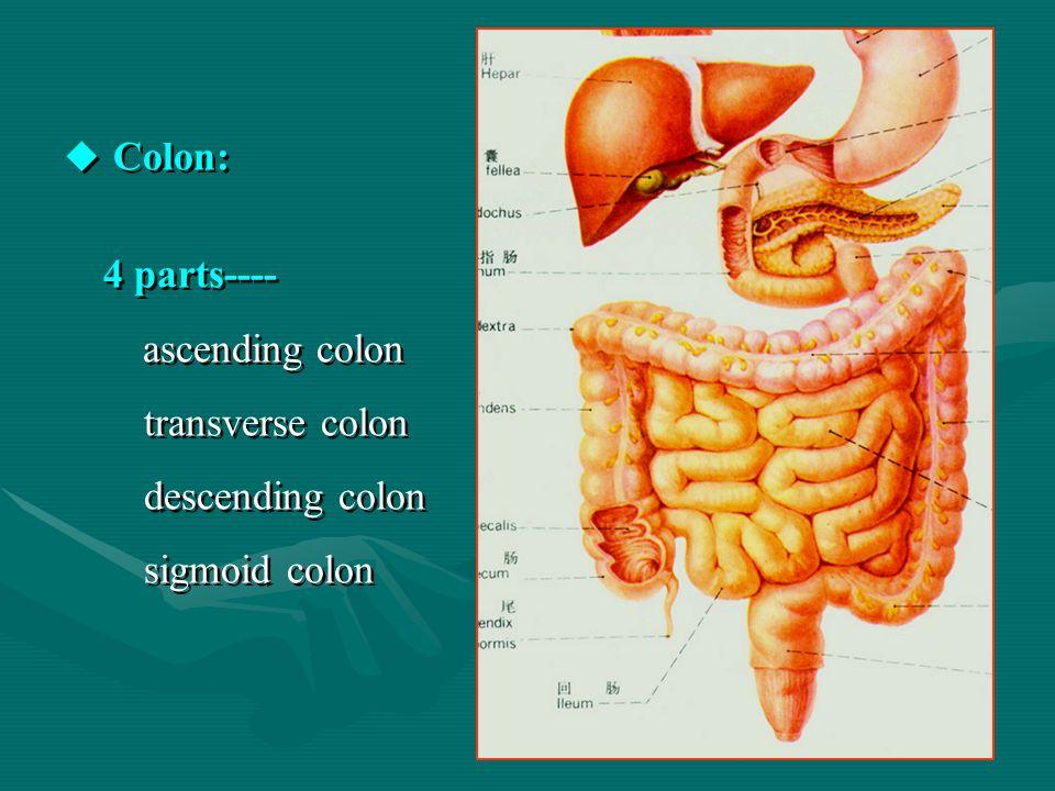 Colon: 4 parts---- transverse colon descending colon sigmoid colon