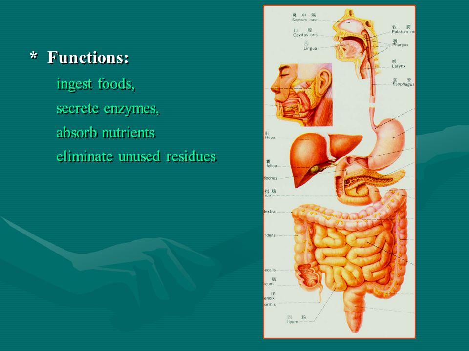 * Functions: ingest foods, secrete enzymes, absorb nutrients