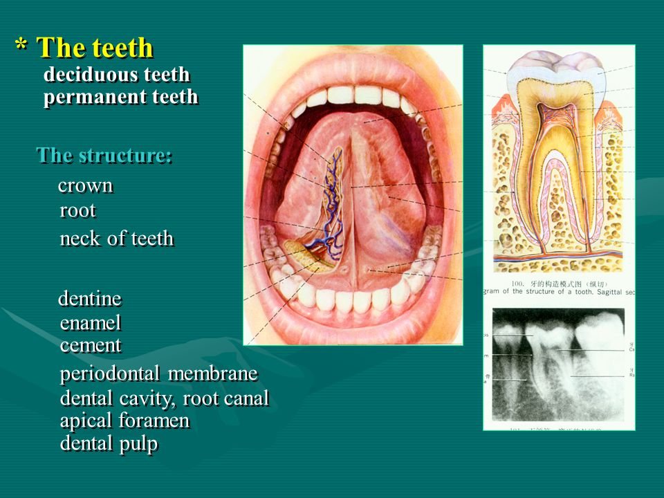 * The teeth The structure: crown dentine deciduous teeth