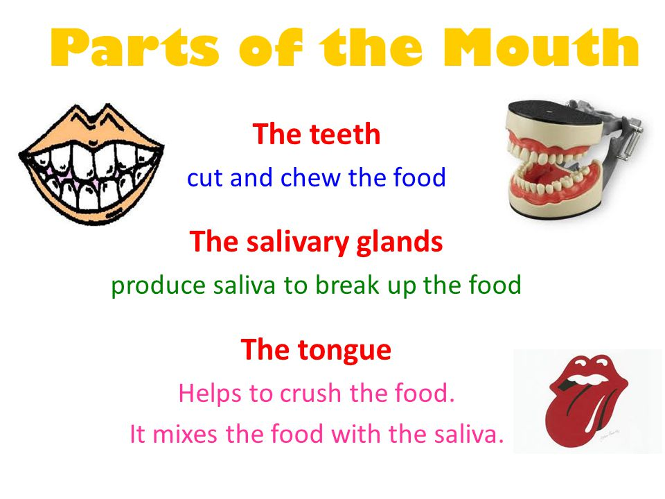 Parts of the Mouth The teeth The salivary glands The tongue