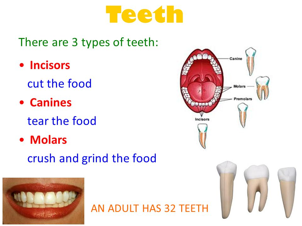 Teeth There are 3 types of teeth: Incisors cut the food Canines