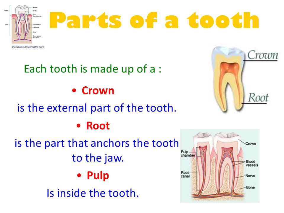 Parts of a tooth Each tooth is made up of a : Crown