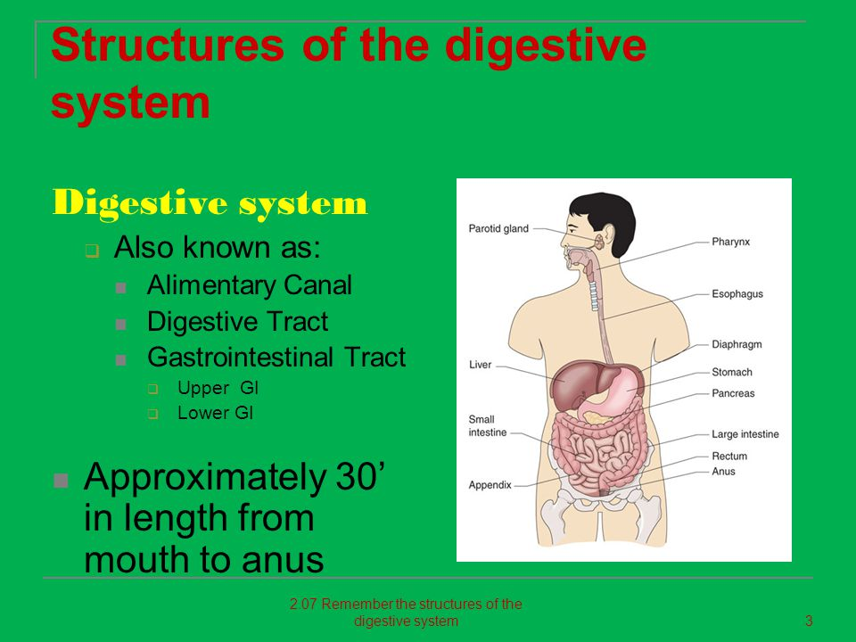 Structures of the digestive system