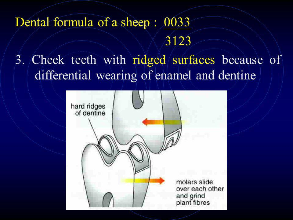 Dental formula of a sheep : 0033