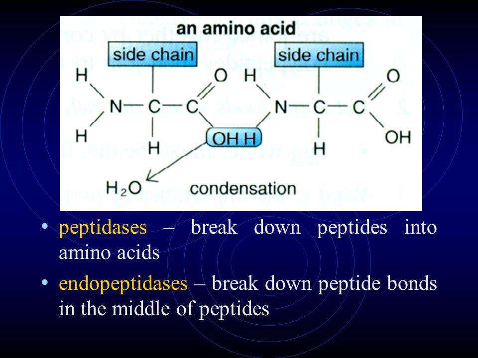 peptidases – break down peptides into amino acids