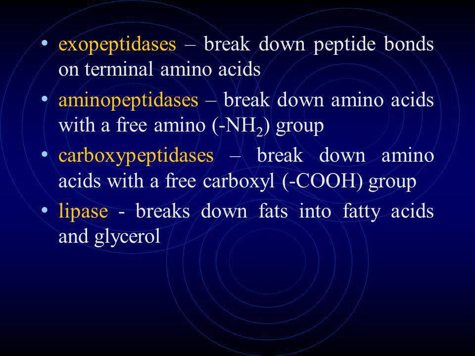 exopeptidases – break down peptide bonds on terminal amino acids