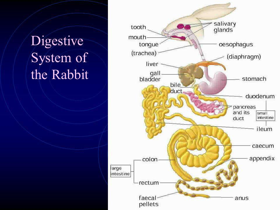 Digestive System of the Rabbit