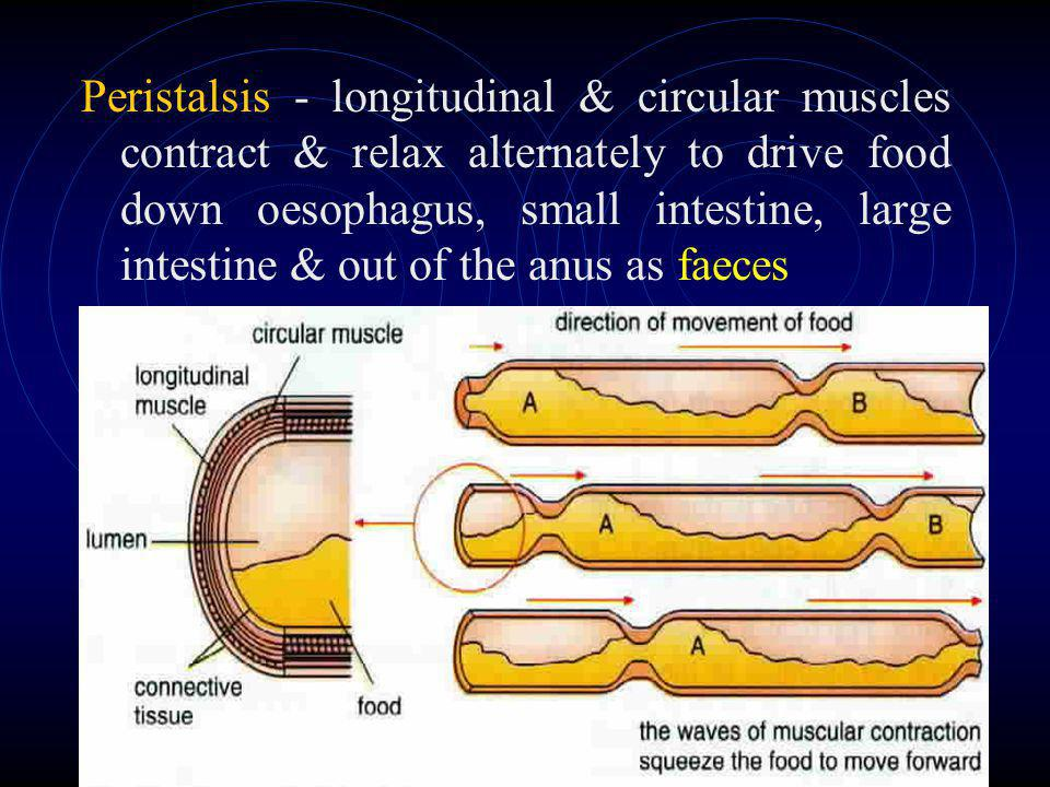 Peristalsis - longitudinal & circular muscles contract & relax alternately to drive food down oesophagus, small intestine, large intestine & out of the anus as faeces
