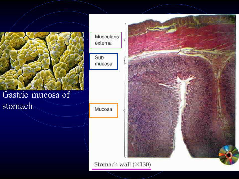 Gastric mucosa of stomach