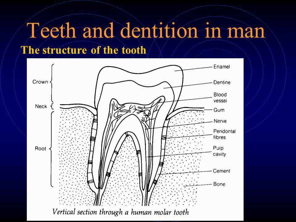 Teeth and dentition in man