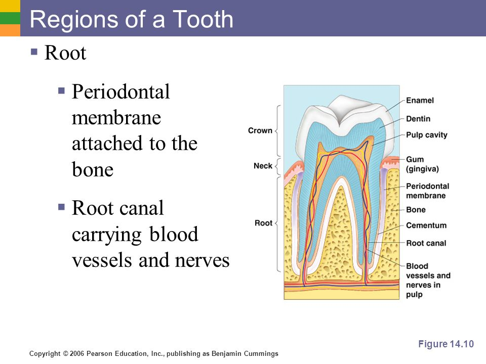 Regions of a Tooth Root Periodontal membrane attached to the bone