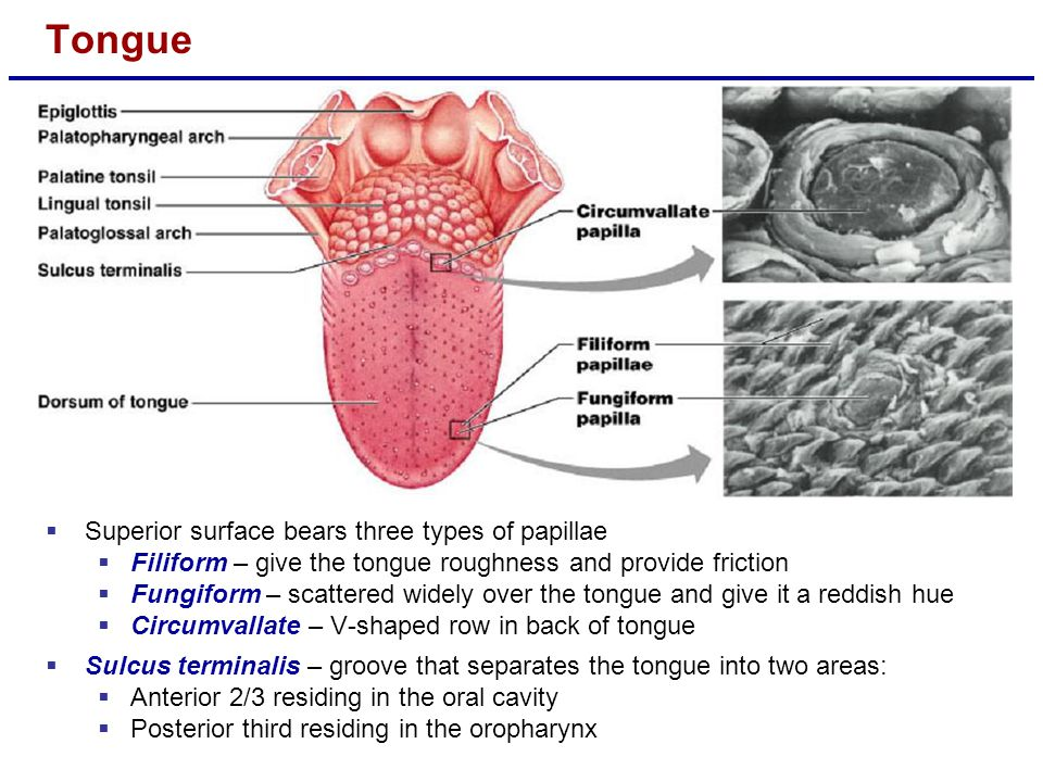 Tongue Superior surface bears three types of papillae