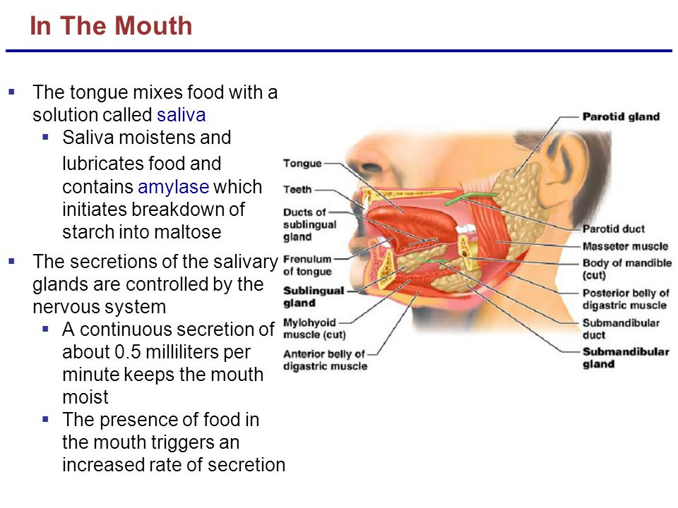 In The Mouth The tongue mixes food with a solution called saliva