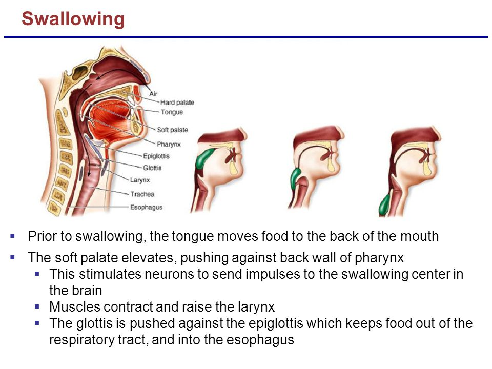 Swallowing Prior to swallowing, the tongue moves food to the back of the mouth. The soft palate elevates, pushing against back wall of pharynx.