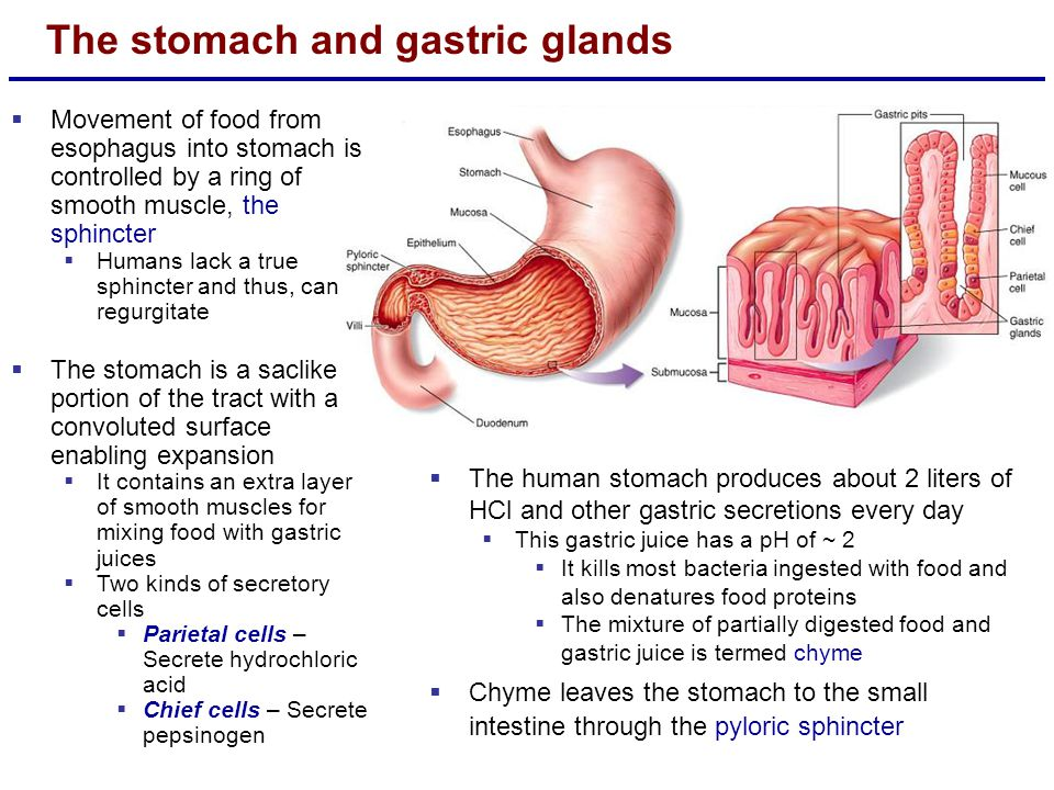 The stomach and gastric glands