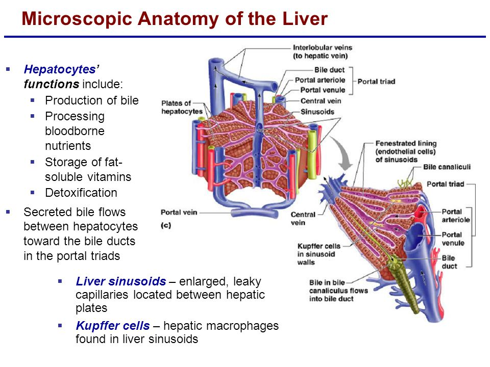 Microscopic Anatomy of the Liver