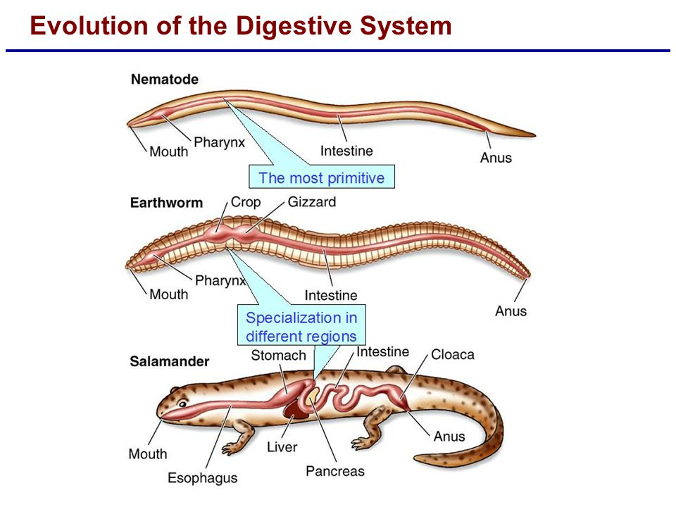 Evolution of the Digestive System