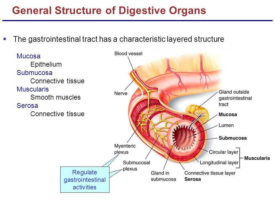 General Structure of Digestive Organs