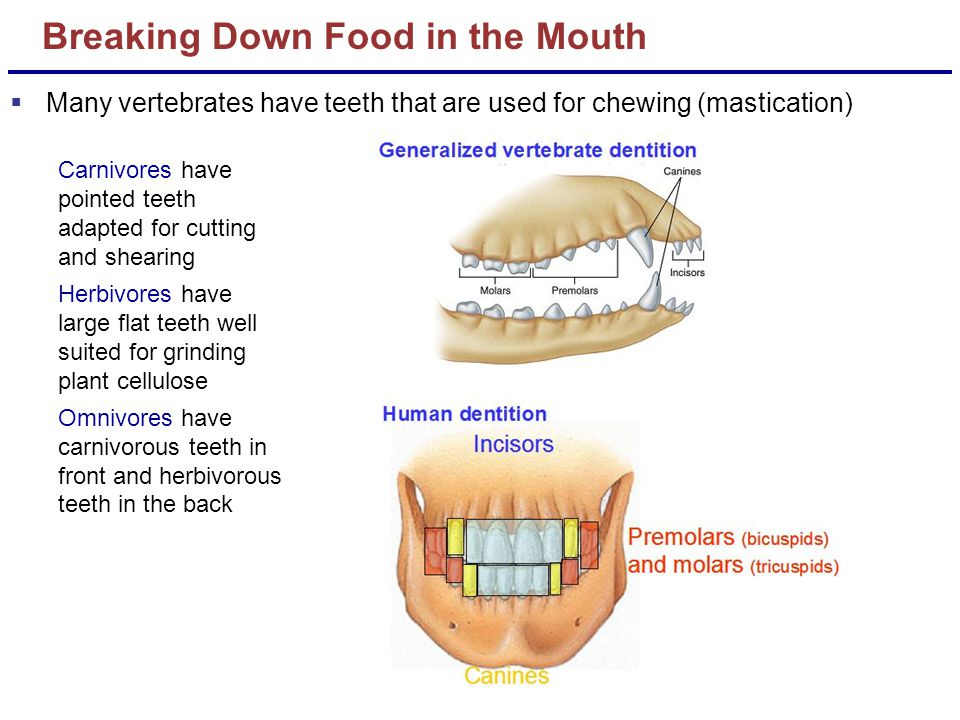 Breaking Down Food in the Mouth