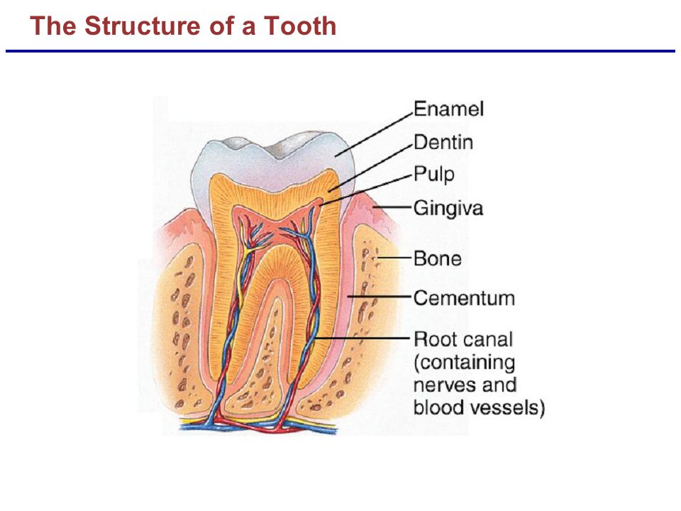 The Structure of a Tooth