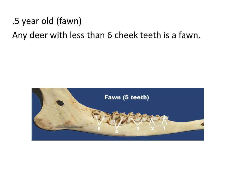 .5 year old (fawn) Any deer with less than 6 cheek teeth is a fawn.