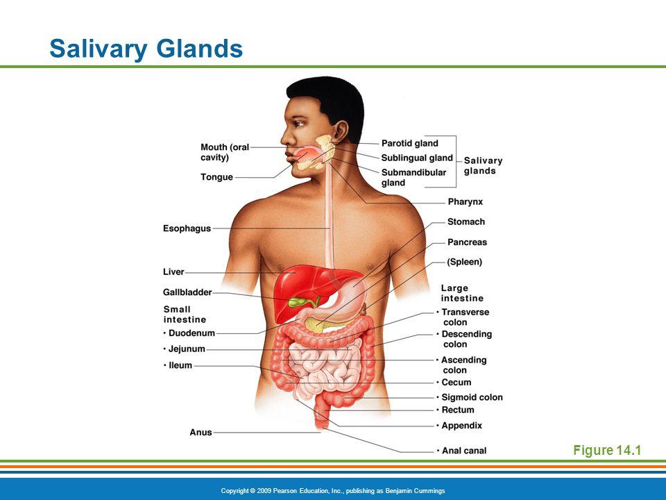 Salivary Glands Figure 14.1