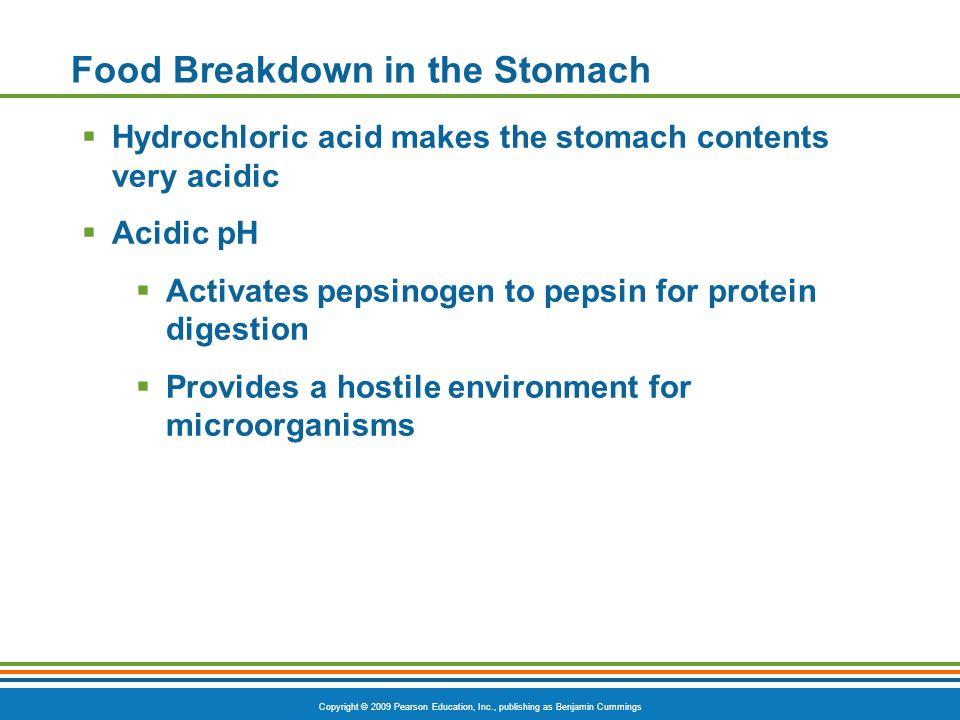 Food Breakdown in the Stomach