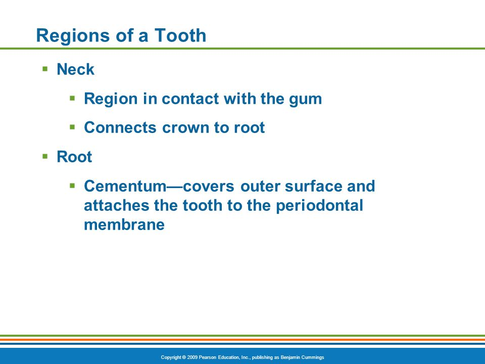 Regions of a Tooth Neck Region in contact with the gum