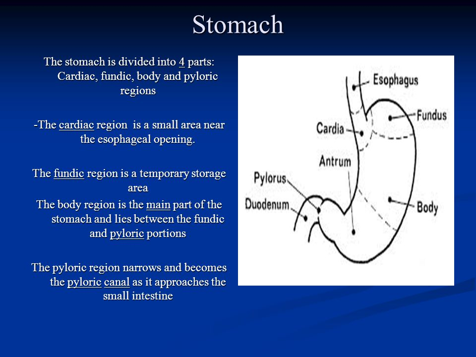 Stomach The stomach is divided into 4 parts: Cardiac, fundic, body and pyloric regions.
