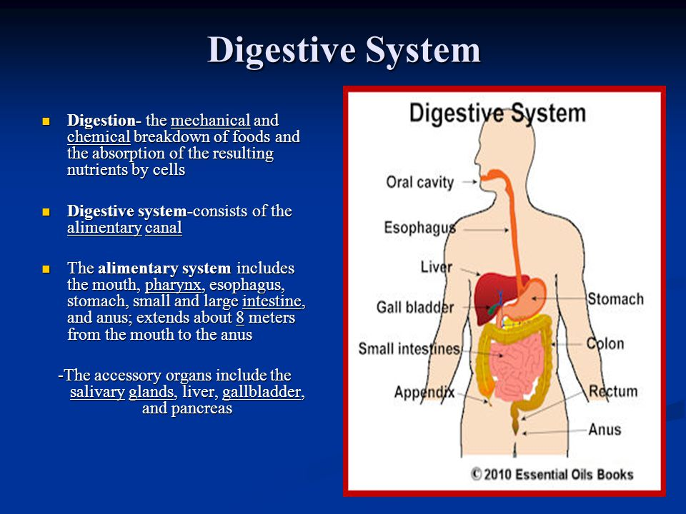 Digestive System Digestion- the mechanical and chemical breakdown of foods and the absorption of the resulting nutrients by cells.