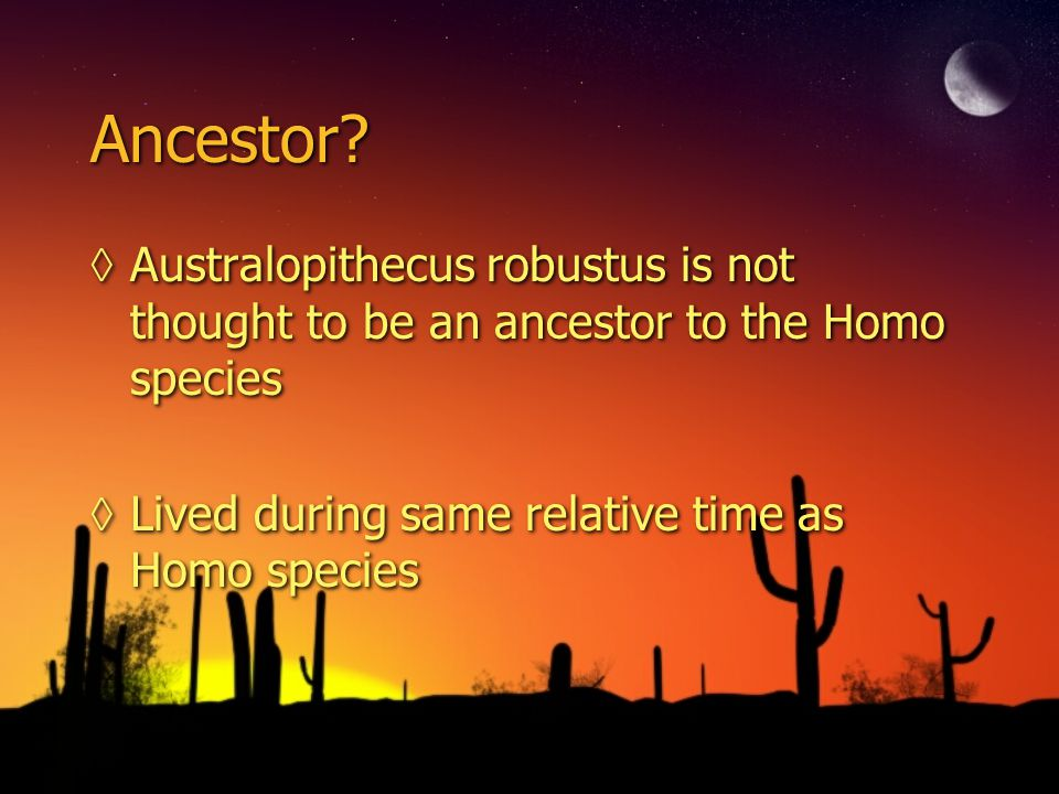 Ancestor. Australopithecus robustus is not thought to be an ancestor to the Homo species.