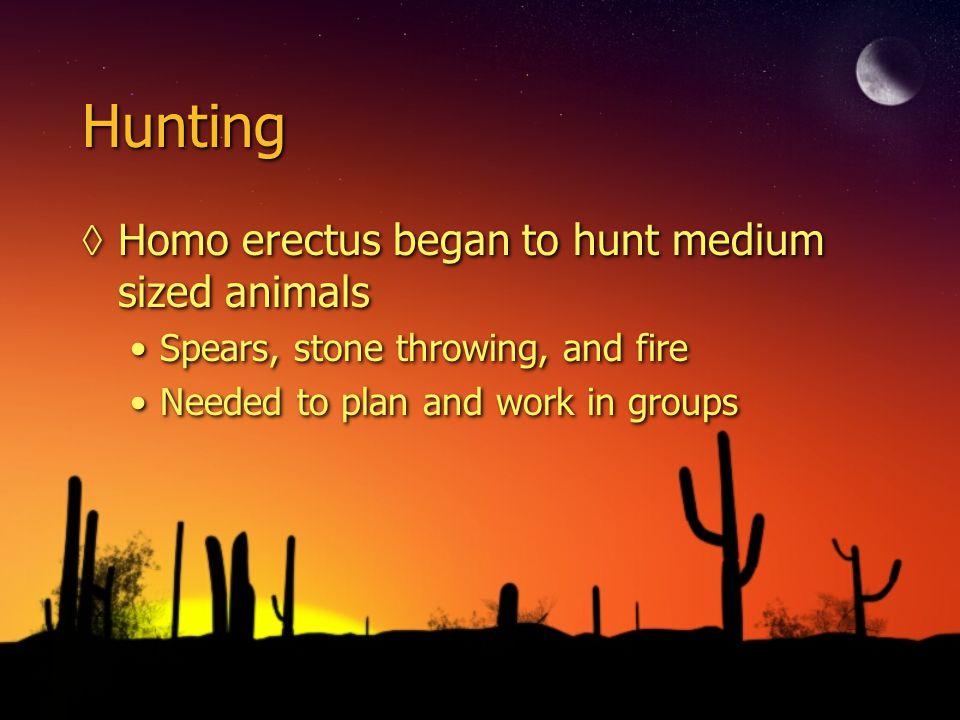 Hunting Homo erectus began to hunt medium sized animals
