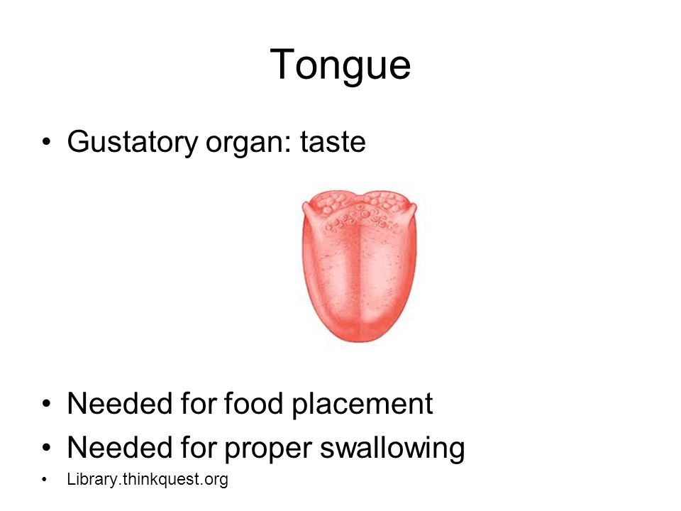 Tongue Gustatory organ: taste Needed for food placement