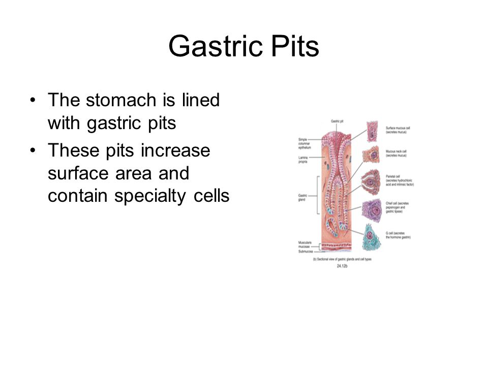 Gastric Pits The stomach is lined with gastric pits