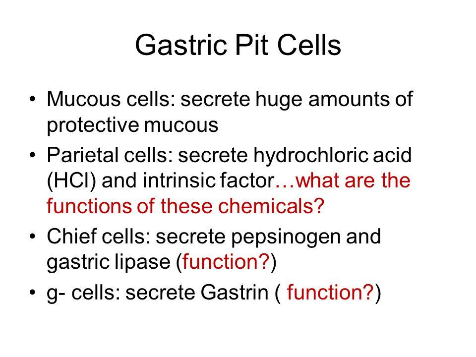 Gastric Pit Cells Mucous cells: secrete huge amounts of protective mucous.