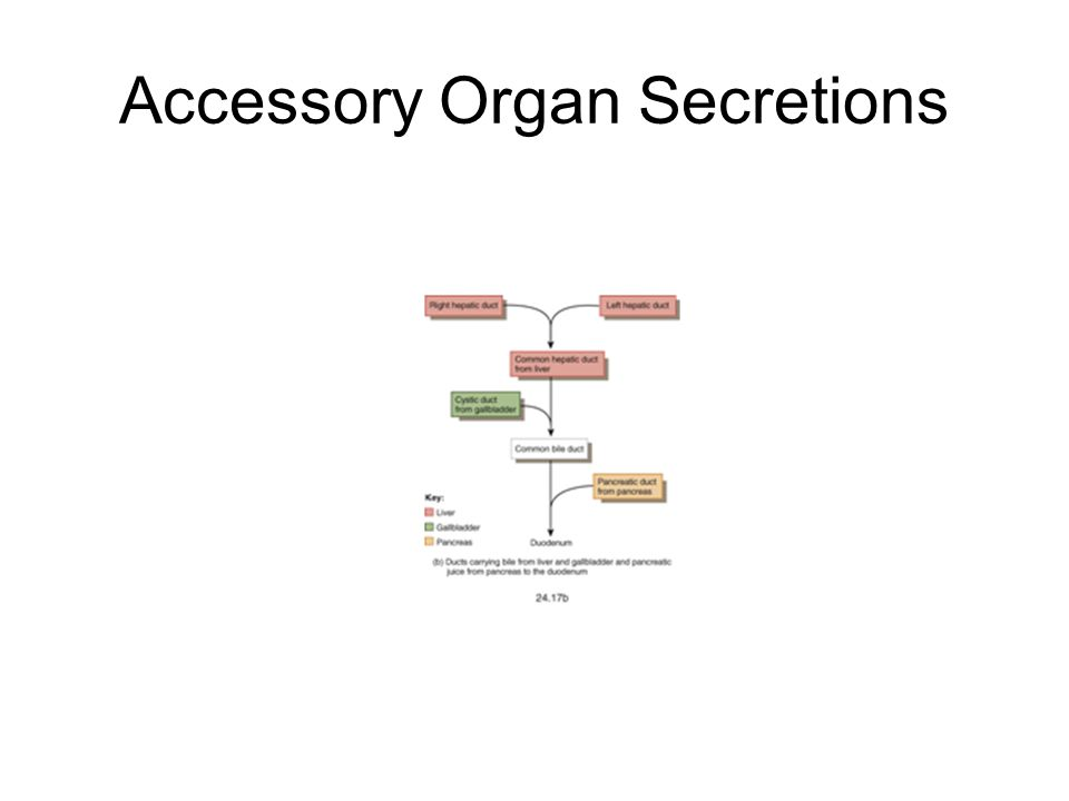 Accessory Organ Secretions