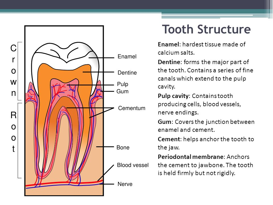 Tooth Structure Enamel: hardest tissue made of calcium salts.