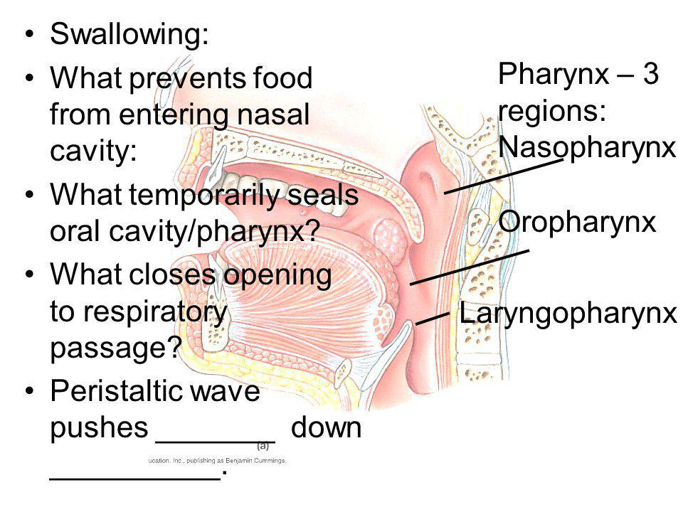 Swallowing: What prevents food from entering nasal cavity: What temporarily seals oral cavity/pharynx