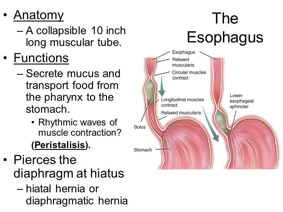 The Esophagus Anatomy Functions Pierces the diaphragm at hiatus