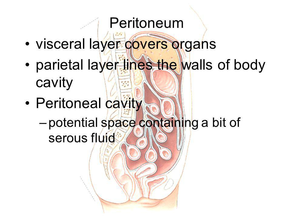 visceral layer covers organs