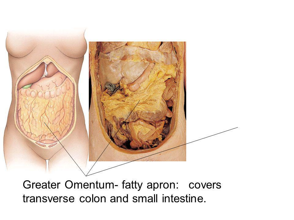 Greater Omentum- fatty apron: covers transverse colon and small intestine.