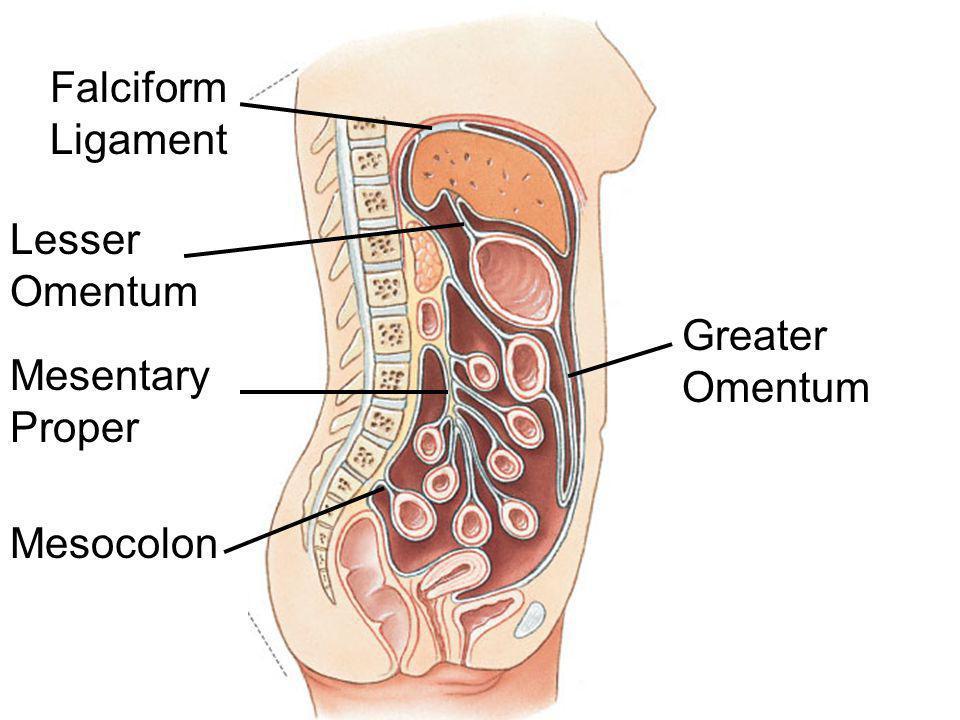 Falciform Ligament Lesser Omentum Greater Omentum Mesentary Proper Mesocolon